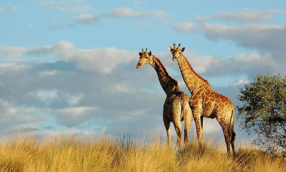 South-africa-luxury-tour-giraffes.jpg